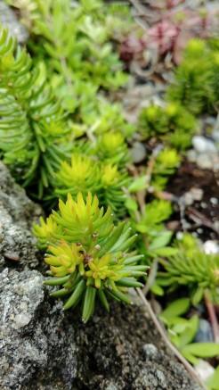 dwarf stonecrop sedum