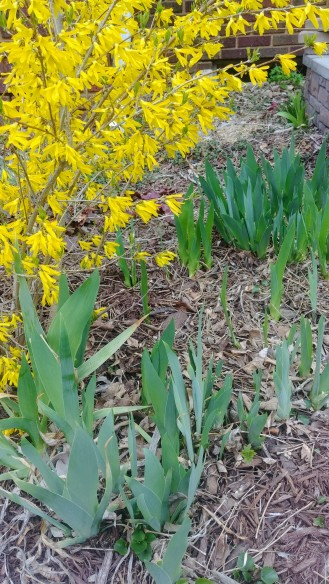 the gifted bearded iris green up beneath an establishing forsythia.
