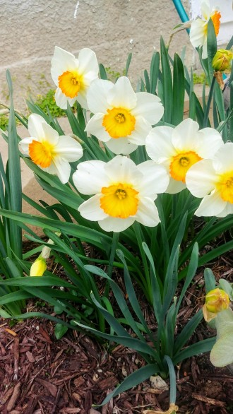 unproductive daffodils found in the side yard lawn have been split and moved and were multitudinous this year.