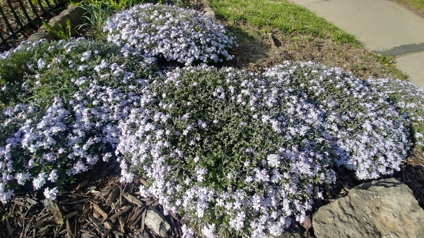 the creeping phlox went in the fall of our first year and is well on its journey to fill the slope of our front yard. at the right time of day, the flowers match our house color. this makes me indescribably happy.