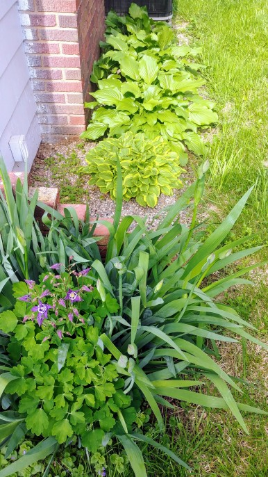 bearded iris from the in-laws' farm bud out in front of the hostas we brought from the old house. a volunteer columbine nestled in the irises come from first year plantings nearby.