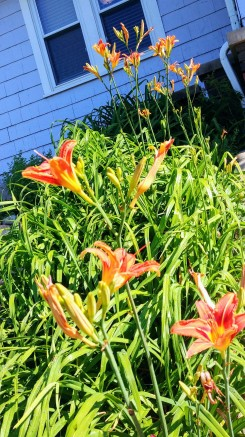 I <3 ditch lilies!
