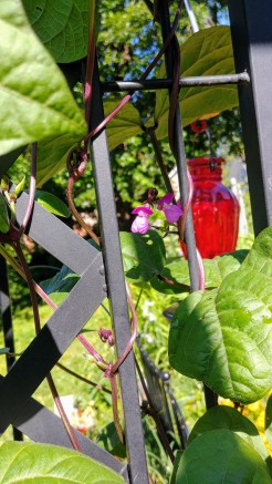 a volunteer blauhilde bean vine begins to bloom.