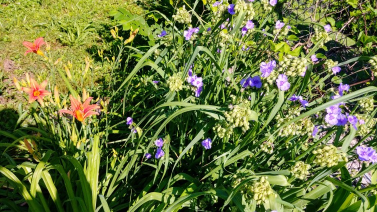 daylilies and spiderwort.